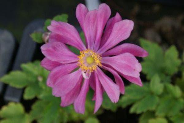 Anemone 'Pamina' (Anemoon)