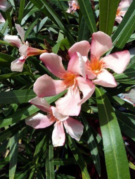 Bloem Nerium Oleander