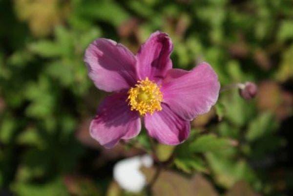 Anemone hupehensis 'Praecox' (Anemoon)