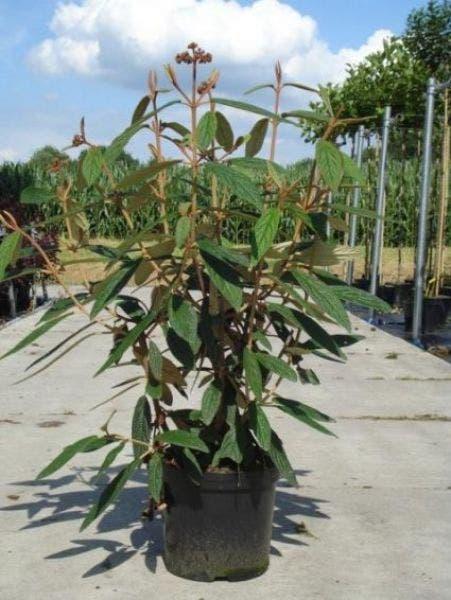 Sneeuwbal (Viburnum rhytidophyllum)