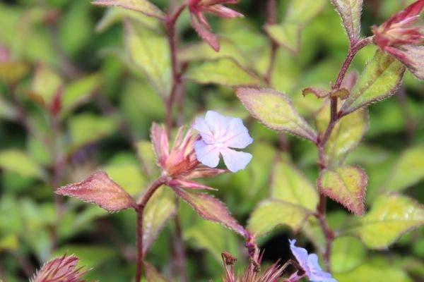 Loodkruid (Ceratostigma willmottianum 'Forest Blue')