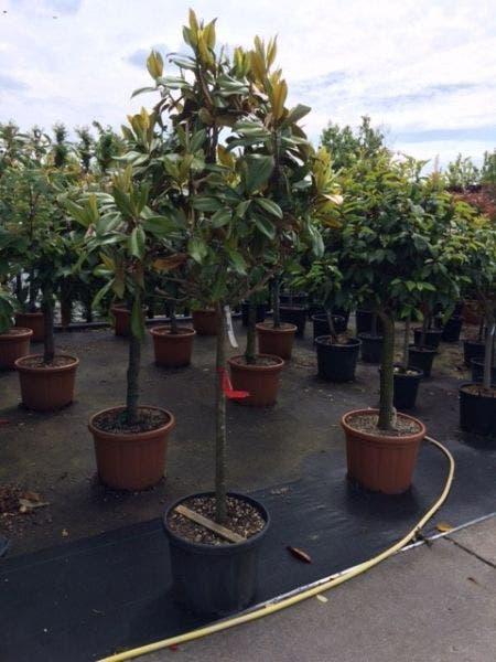 Magnolia grandiflora 12-14cm, halfstam 100cm stam