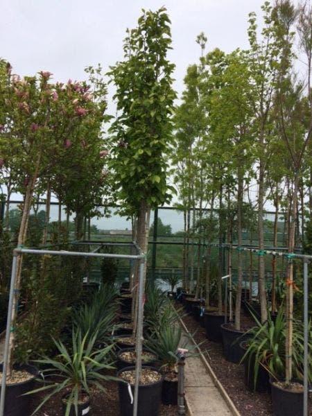 Magnolia soulangeana als boom, stamomtrek 10/12cm