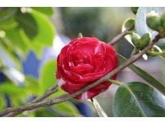 Camellia (Camellia, rood)