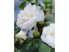 Camelia (Camellia, wit)