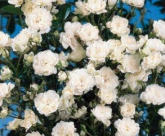 Bodembedekkende roos (Rosa 'Crystal Fairy')