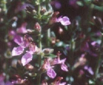 Gamander (Teucrium lucidrys)