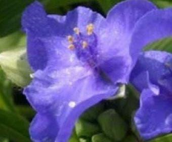 Eendagsbloem (Tradescantia 'Blue Stone')