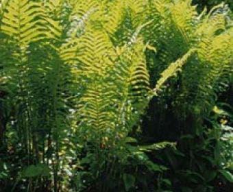 Matteuccia pensylvanica Amerikaanse struis- of bekervaren