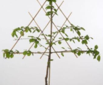 Lei-Kers (Prunus avium 'Sunburst')