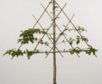 Lei-Kers (Prunus avium 'Merchant')