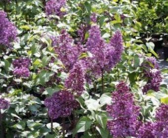 Sering (Syringa vulgaris 'Mrs. Edward Harding')