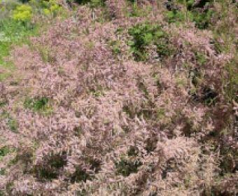 Tamarisk (Tamarix parviflora)