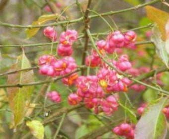 Wilde kardinaalsmuts (Euonymus europaeus)