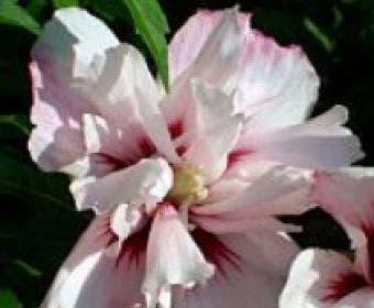 Altheastruik (Hibiscus syriacus 'Leopoldii')