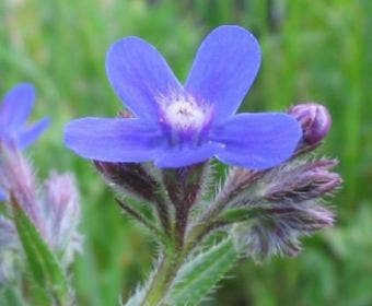 Ossetong (Anchusa azurea)