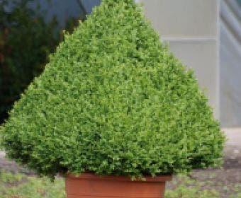 Buxus als pyramide (Buxus sempervirens)