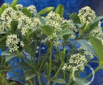 Skimmia (Skimmia japonica 'Keessen')