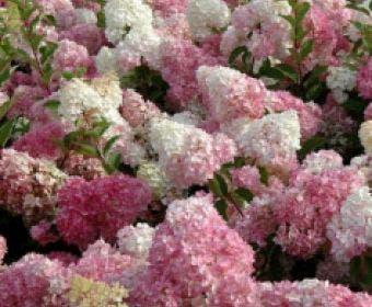 Pluimhortensia (Hydrangea paniculata 'Vanille Fraise')