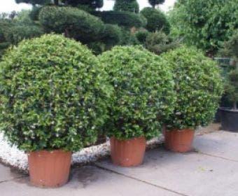 Toscaanse Jasmijn, Bolvorm (Trachelospermum jasminoides )