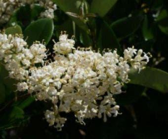 Kardinaalsmuts (Euonymus japonicus)