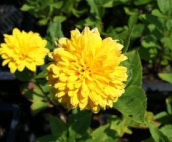 Zonnebloem (Helianthus decapetalus 'Soleil d'Or')