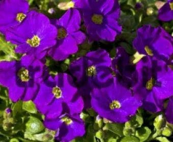 Blauwkussen (Aubrieta 'Cascade Purple')