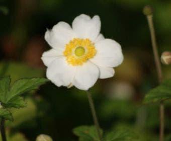 Anemoon (Anemone 'Honorine Jobert')