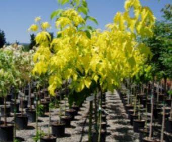 Vederesdoorn op stam (Acer negundo 'Kelly's Gold')