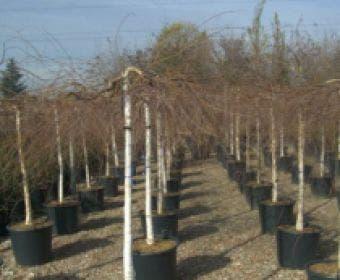 Prieelberk (Betula pendula 'Youngii')