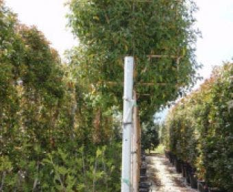 Liguster als leiboom (Ligustrum japonicum)