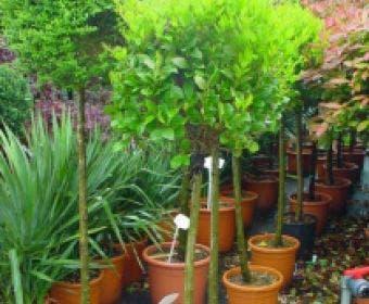 Liguster op stam (Ligustrum japonicum 'Texanum')