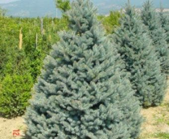 Zilverden (Picea pungens 'Koster')