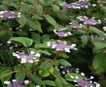 Fluweelhortensia (Hydrangea aspera 'Sargentiana')
