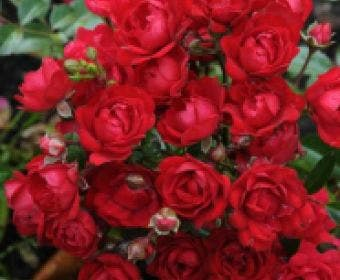Bodembedekkende roos (Rosa 'Fairy King')