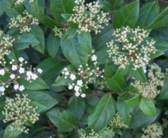 Sneeuwbal (Viburnum tinus 'Eve Price')