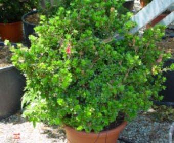 Japanse Azalea (Rhododendron 'Ladyflora Alba')