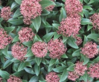 Skimmia (Skimmia japonica 'Rubella')