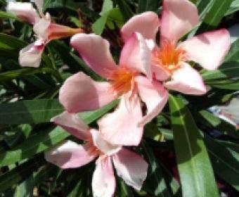 Roze Oleander (Nerium oleander)