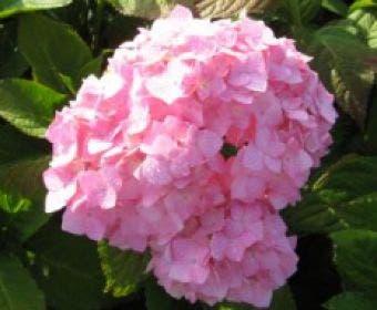 Hortensia (Hydrangea macrophylla 'Bouquet Rose')