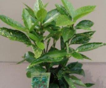 Broodboom (Aucuba japonica 'Variegata')