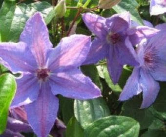 Bosrank (Clematis 'Minister')