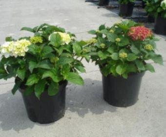 Hortensia (Hydrangea macrophylla 'Souer Therese')