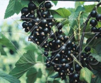 Zwarte bes (Ribes nigrum 'Ben Tirran')