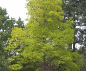 Vederesdoorn als boom (Acer negundo 'Kelly's Gold')