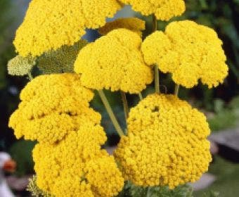 Duizendblad (Achillea filipendulina 'Cloth of Gold')