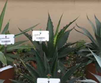 Winterharde Agave (Agave 'Gentryi Jaws')