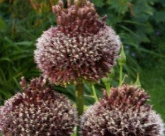 Sierui (Allium 'Forelock'®)