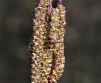 Zwarte els (Alnus glutinosa)