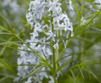 Blauwe Ster (Amsonia hubrichtii)